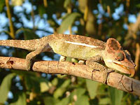 Fig. 1. Chameleon, Bradypodion uthmoelleri, basking in late evening sunshine