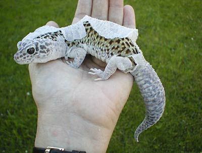 Oceans4 11 Snow Leopard Gecko Morph