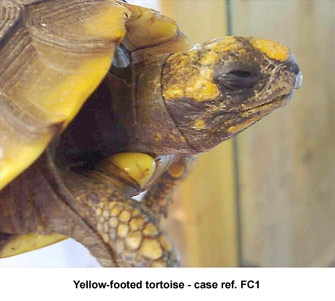 caseFC1yellowfoottort2.jpg