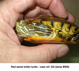 Fig. 4: photo-kerato-conjunctivitis - red-eared slider turtle