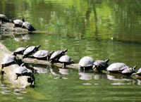 Fig.2. Red-eared slider terrapins basking